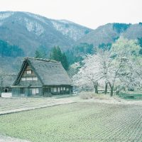 白川郷の桜