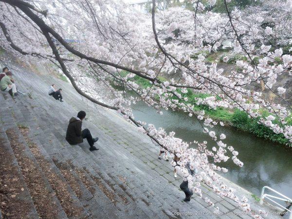 日がな一日、桜